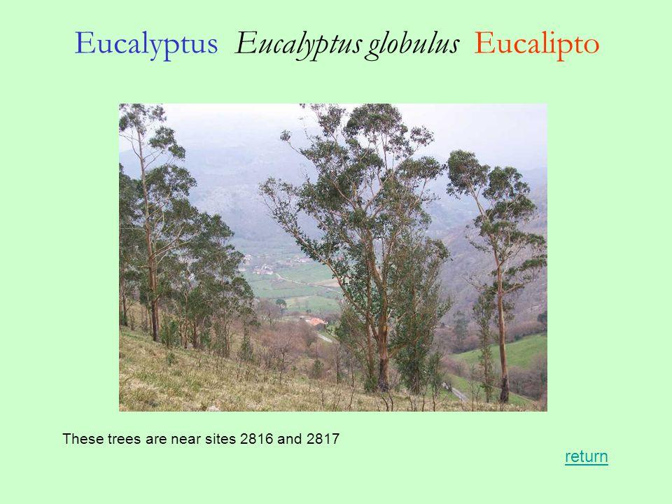 Eucalyptus Eucalyptus globulus Eucalipto These trees are near sites 2816 and 2817 return