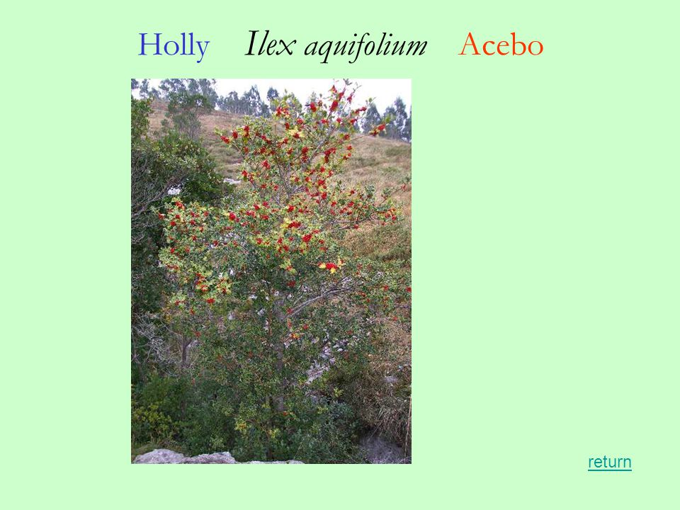 Holly Ilex aquifolium Acebo return