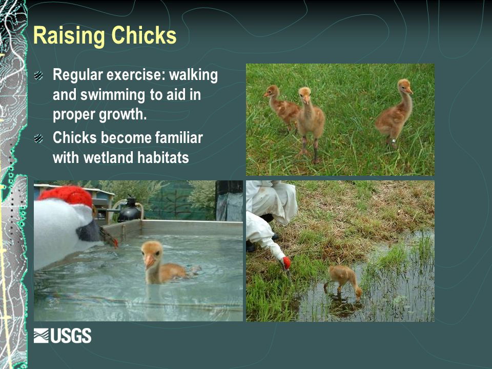 Raising Chicks Regular exercise: walking and swimming to aid in proper growth. Chicks become familiar with wetland habitats