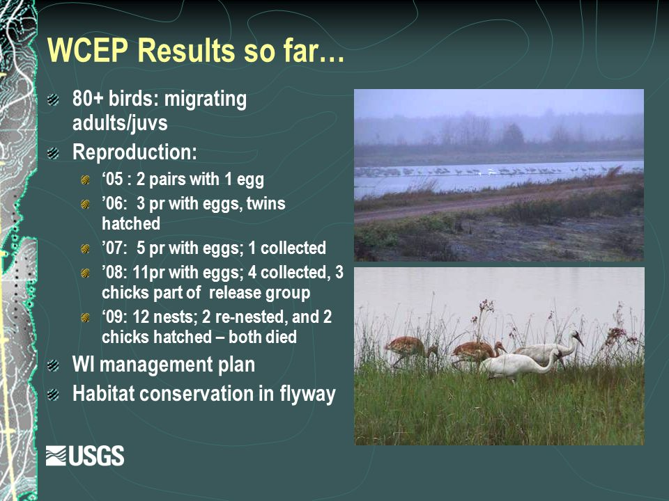 WCEP Results so far… 80+ birds: migrating adults/juvs Reproduction: '05 : 2 pairs with 1 egg '06: 3 pr with eggs, twins hatched '07: 5 pr with eggs; 1
