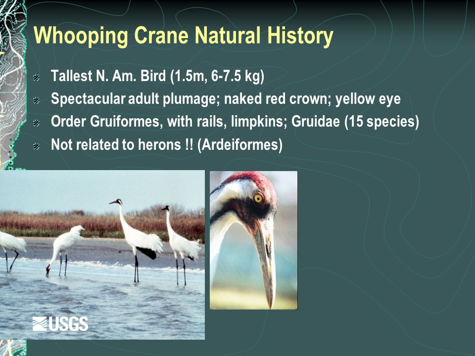 Whooping Crane Natural History Tallest N. Am. Bird (1.5m, 6-7.5 kg) Spectacular adult plumage; naked red crown; yellow eye Order Gruiformes, with rail