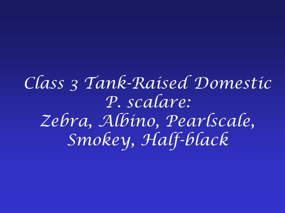 Class 3 Tank-Raised Domestic P. scalare: Zebra, Albino, Pearlscale, Smokey, Half-black