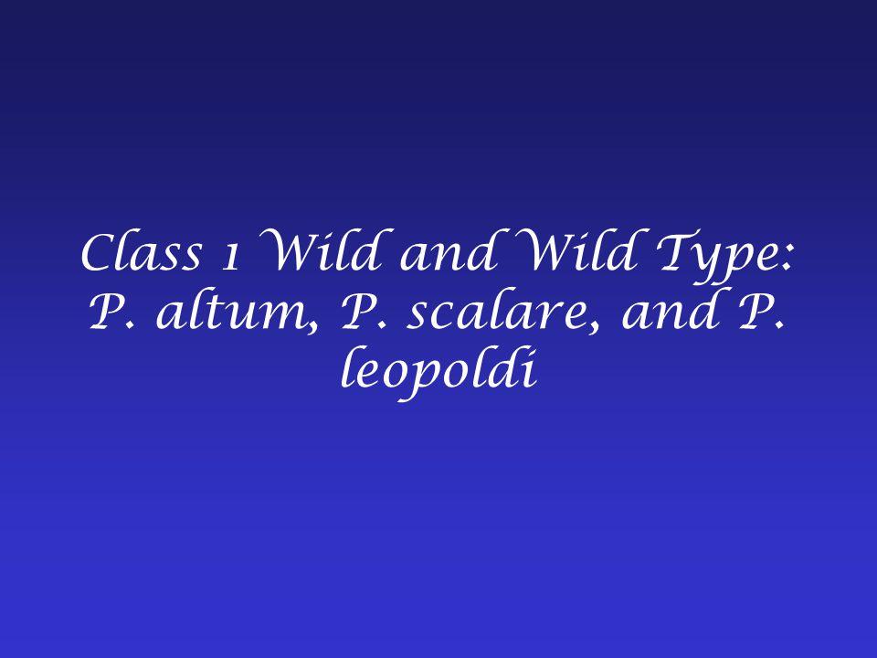 Class 1 Wild and Wild Type: P. altum, P. scalare, and P. leopoldi