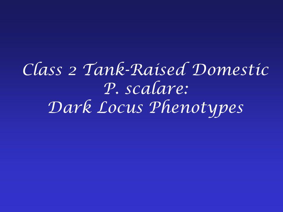 Class 2 Tank-Raised Domestic P. scalare: Dark Locus Phenotypes