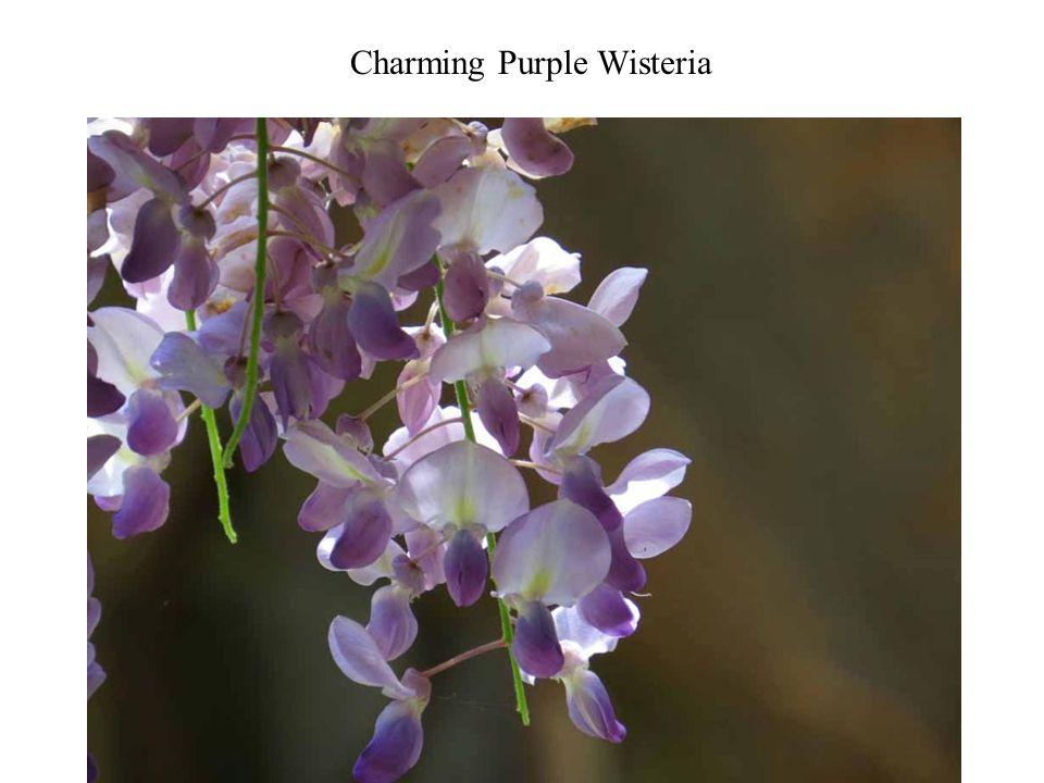 Charming Purple Wisteria Photography 10