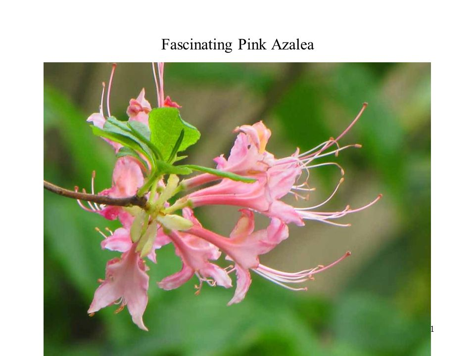 Fascinating Pink Azalea Photography 11