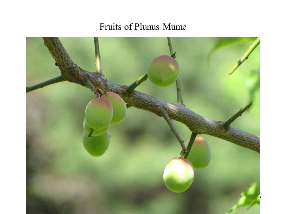 Fruits of Plunus Mume Photography 15