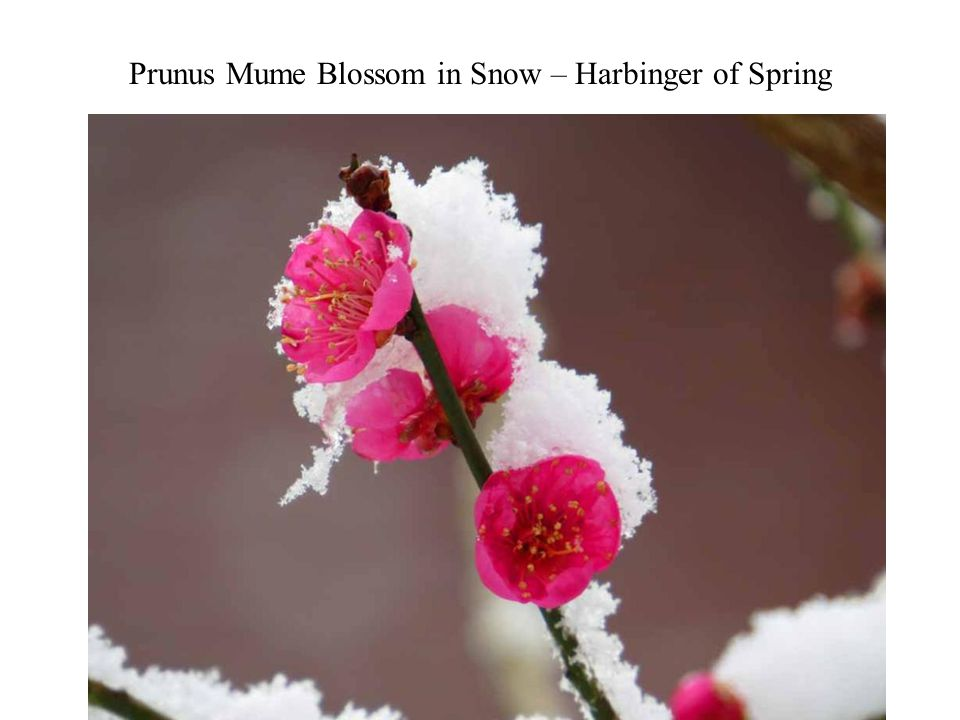 Prunus Mume Blossom in Snow – Harbinger of Spring Photography 16