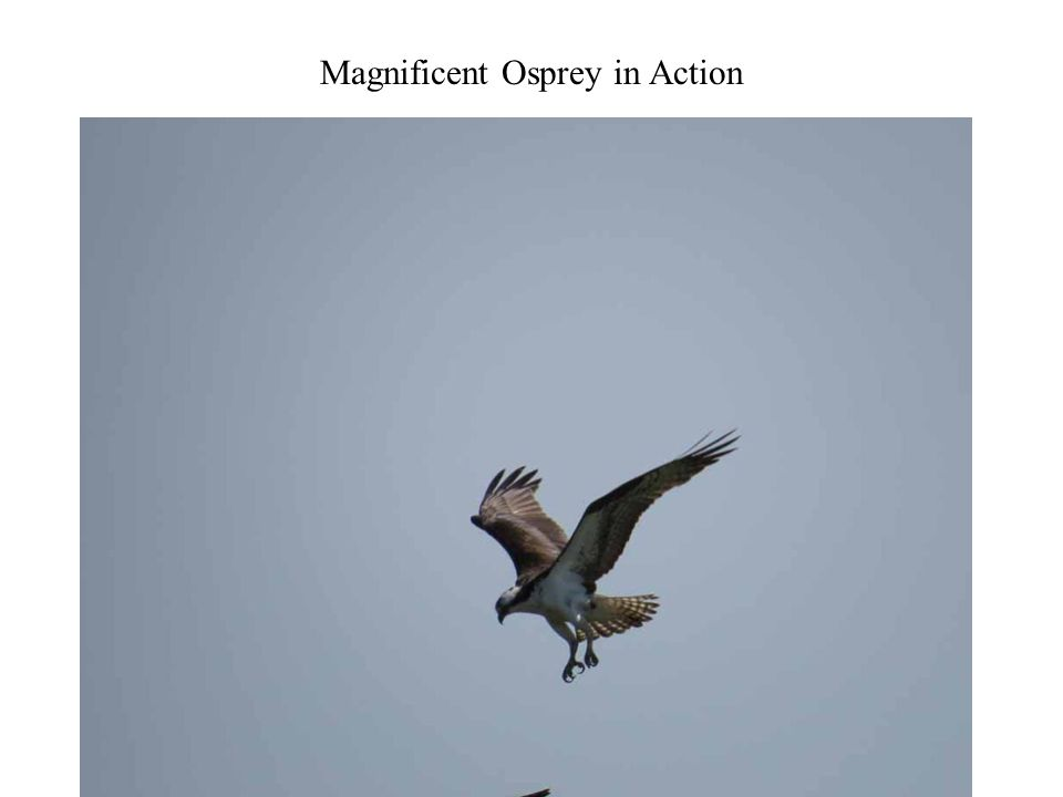 Magnificent Osprey in Action Photography 32