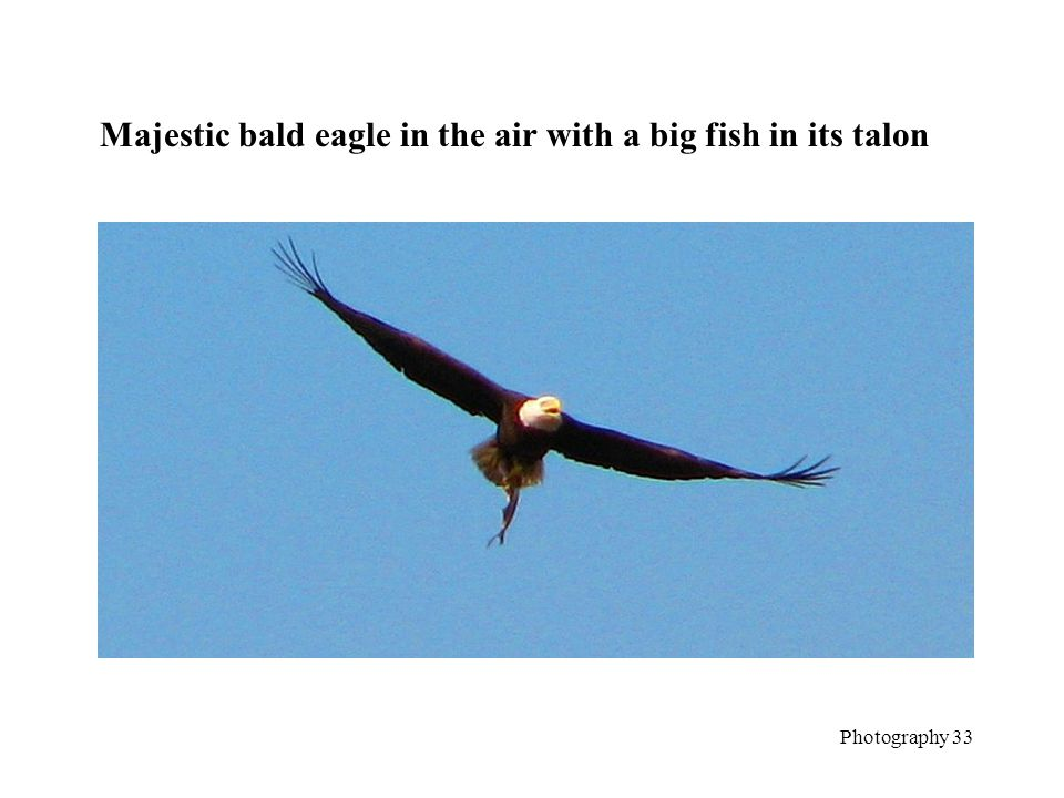 Majestic bald eagle in the air with a big fish in its talon Photography 33