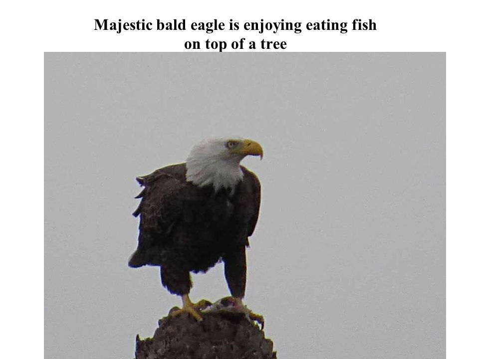 Majestic bald eagle is enjoying eating fish on top of a tree Photography 35
