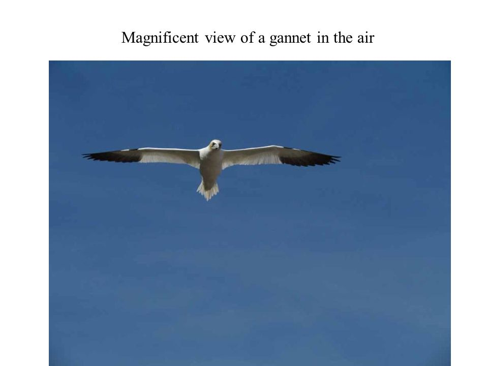 Magnificent view of a gannet in the air Photography 37