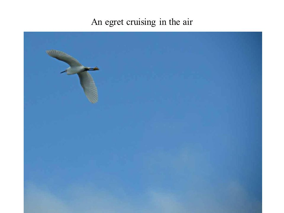 An egret cruising in the air Photography 41