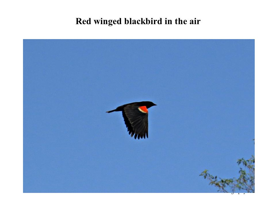 Red winged blackbird in the air Photography 42