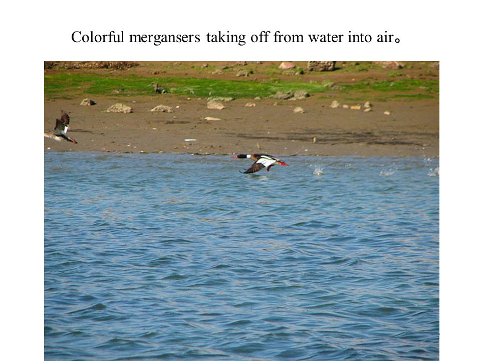 Colorful mergansers taking off from water into air 。 Photography 46