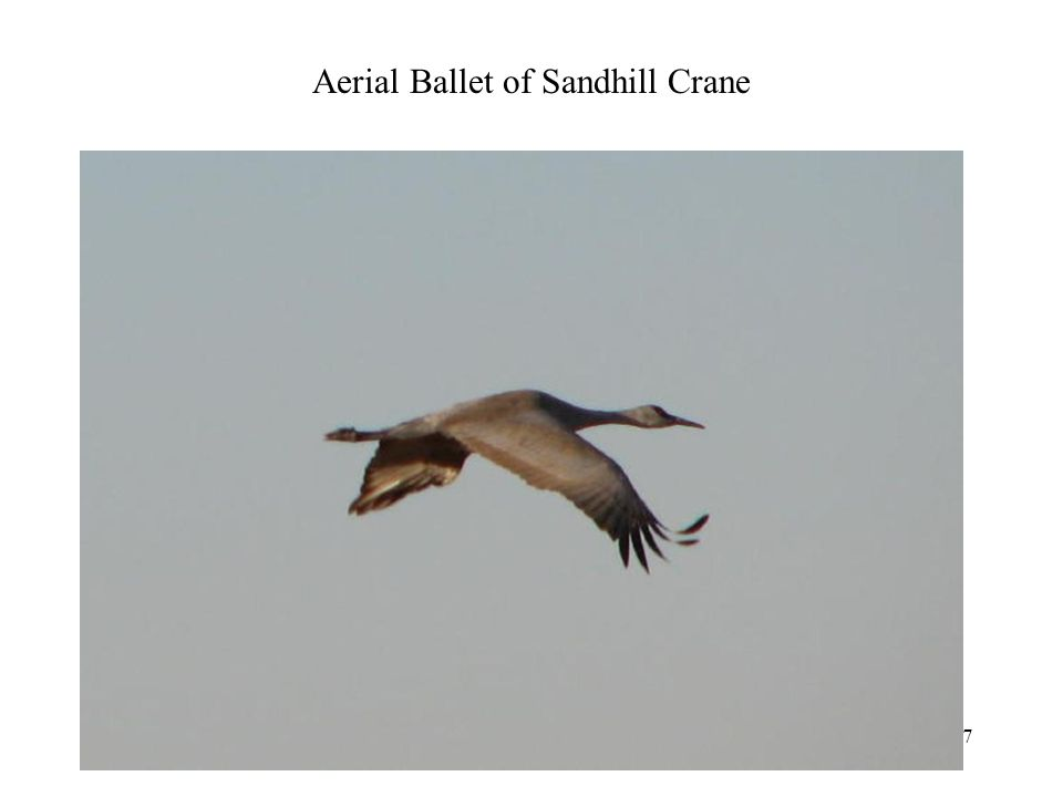 Aerial Ballet of Sandhill Crane Photography 47