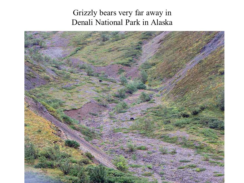 Grizzly bears very far away in Denali National Park in Alaska Photography 54