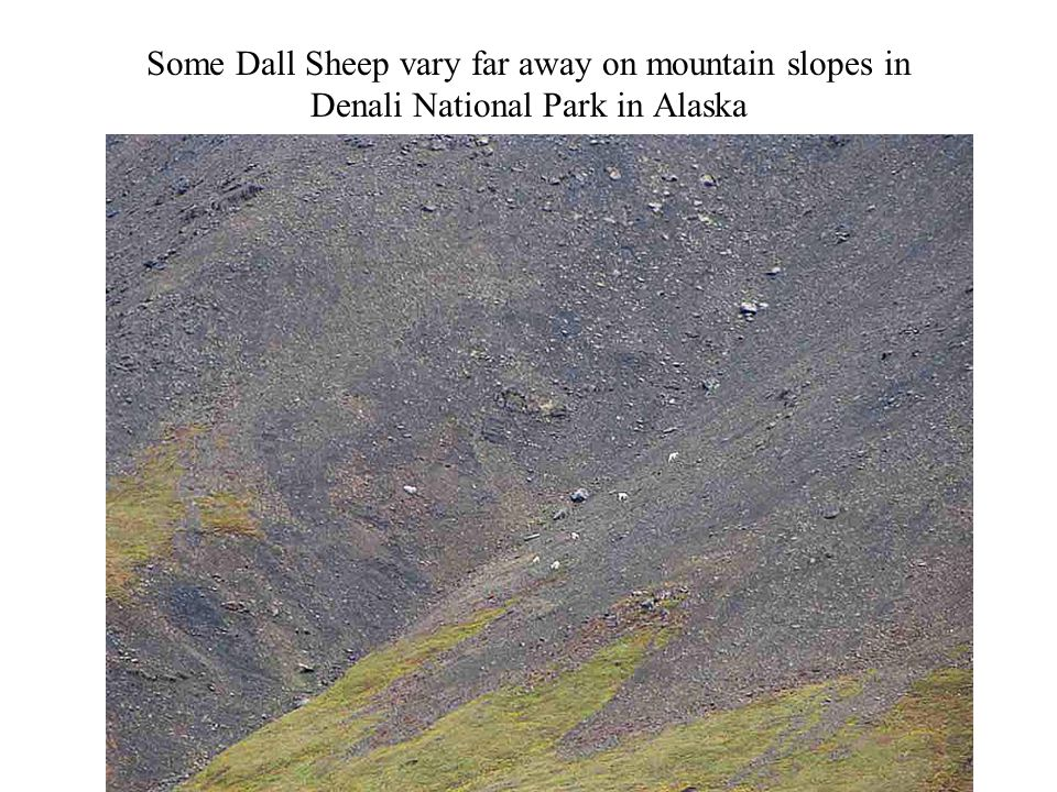 Some Dall Sheep vary far away on mountain slopes in Denali National Park in Alaska Photography 58