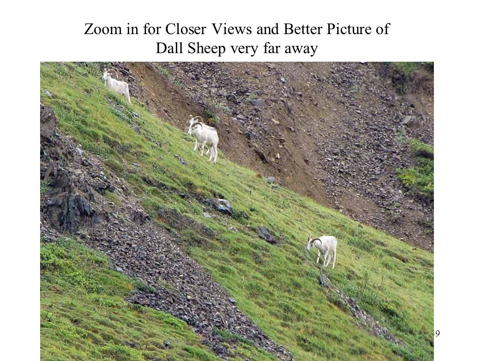 Zoom in for Closer Views and Better Picture of Dall Sheep very far away Photography 59
