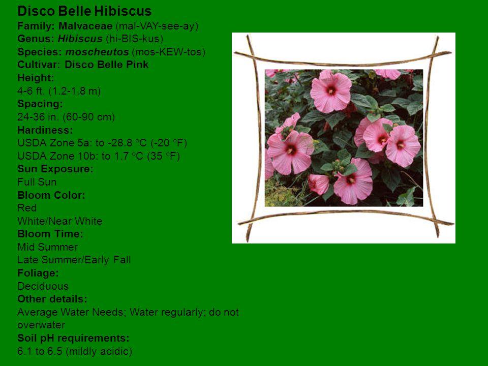 Disco Belle Hibiscus Family: Malvaceae (mal-VAY-see-ay) Genus: Hibiscus (hi-BIS-kus) Species: moscheutos (mos-KEW-tos) Cultivar: Disco Belle Pink Height: 4-6 ft.