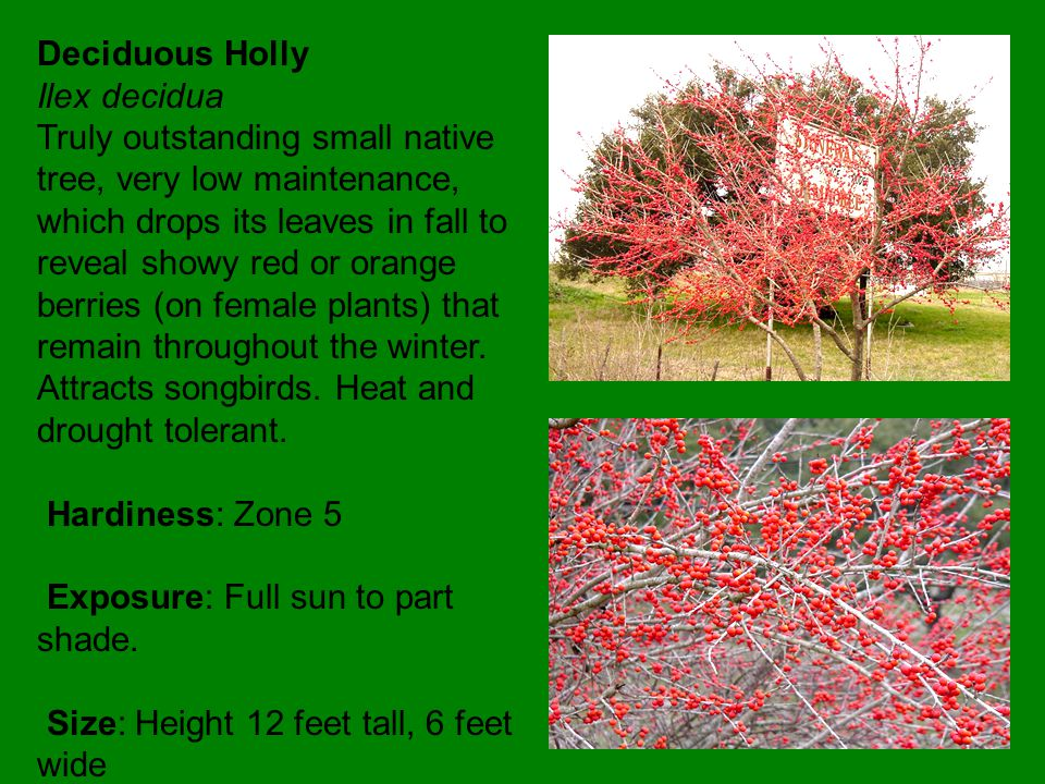 Shantung Maple Acer truncatum Reminiscent of Japanese maple but with much greater toughness.