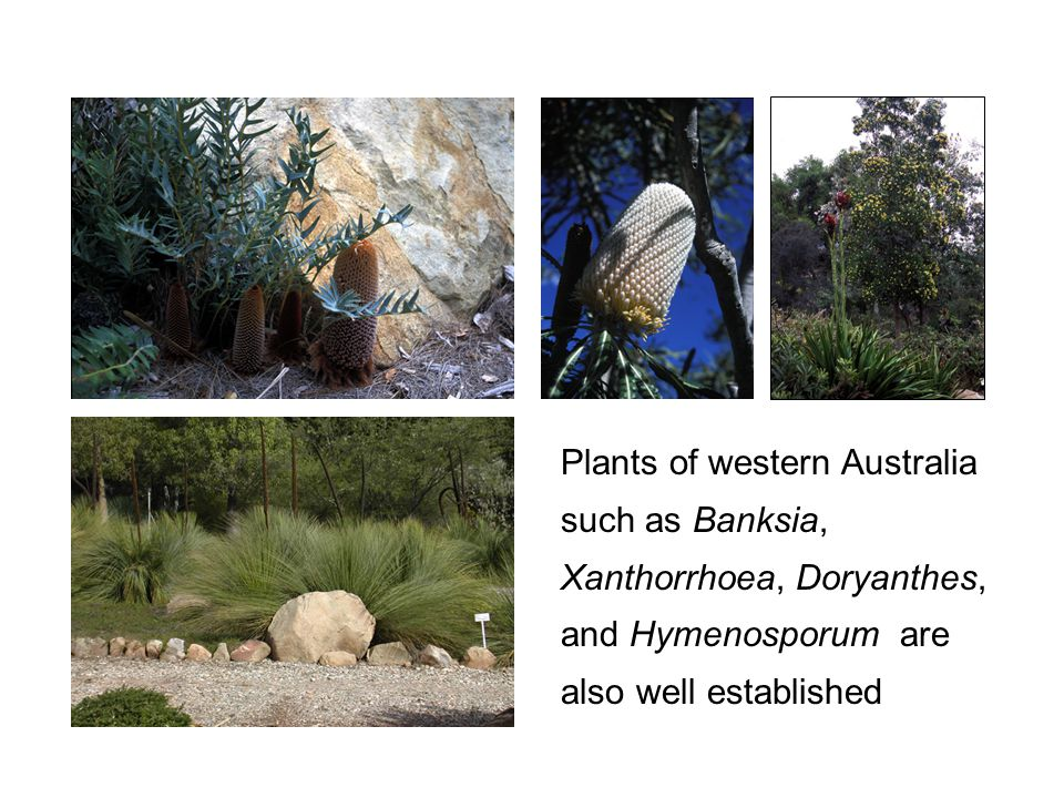 Plants of western Australia such as Banksia, Xanthorrhoea, Doryanthes, and Hymenosporum are also well established