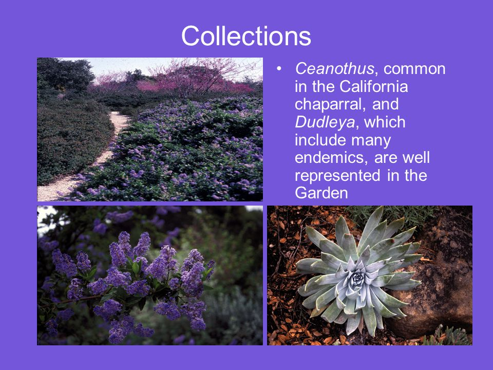 Collections Ceanothus, common in the California chaparral, and Dudleya, which include many endemics, are well represented in the Garden