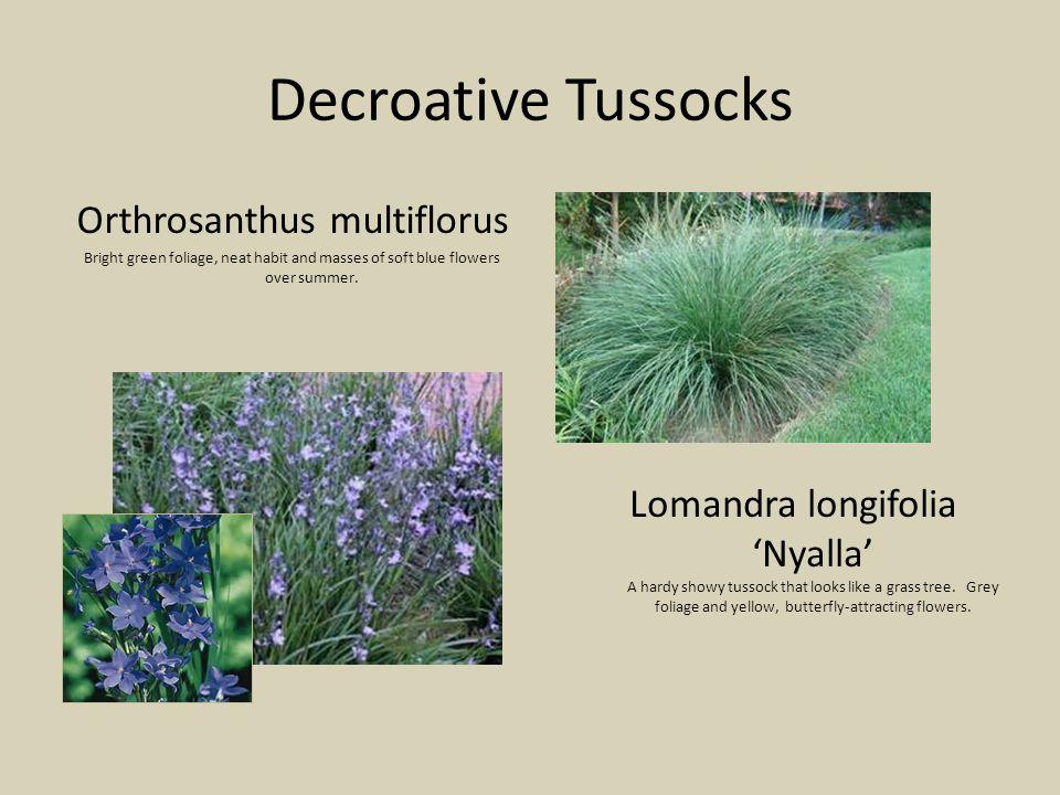 Decroative Tussocks Lomandra longifolia 'Nyalla' A hardy showy tussock that looks like a grass tree.