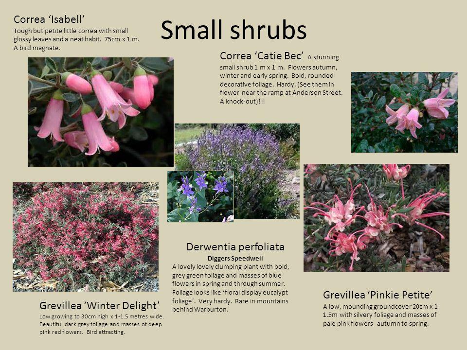 Small shrubs Correa 'Catie Bec' A stunning small shrub 1 m x 1 m.