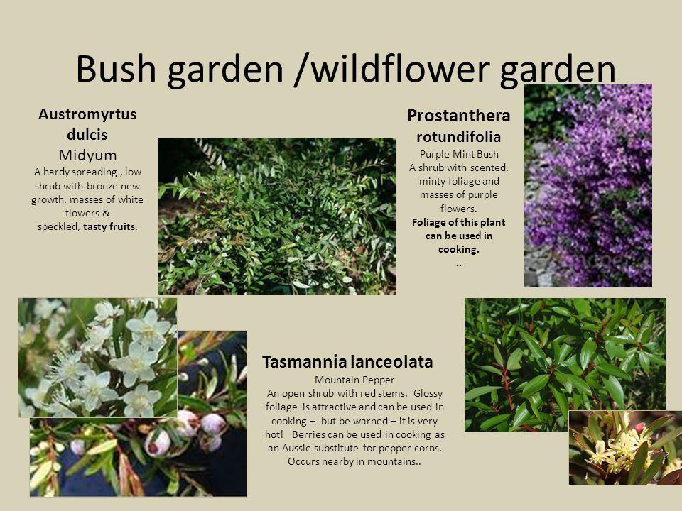 Bush garden /wildflower garden Austromyrtus dulcis Midyum A hardy spreading, low shrub with bronze new growth, masses of white flowers & speckled, tasty fruits.