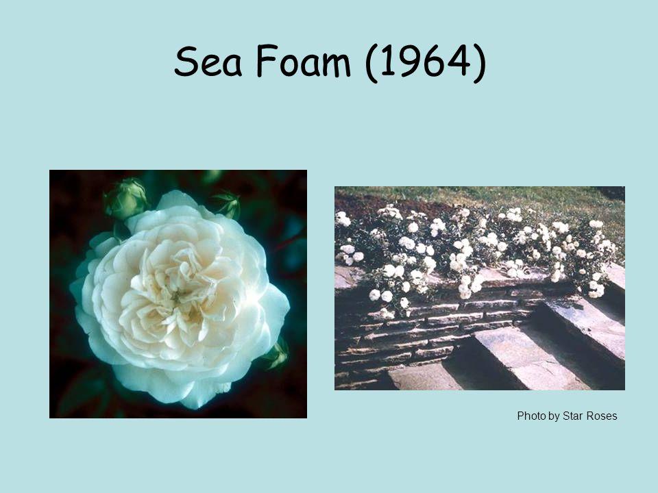 Sea Foam (1964) Photo by Star Roses