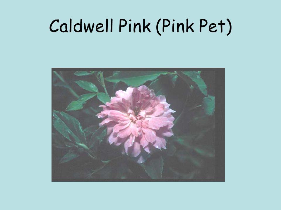 Caldwell Pink (Pink Pet)