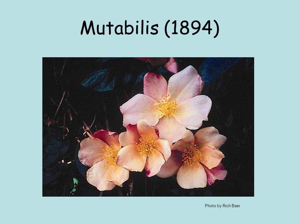 Mutabilis (1894) Photo by Rich Baer