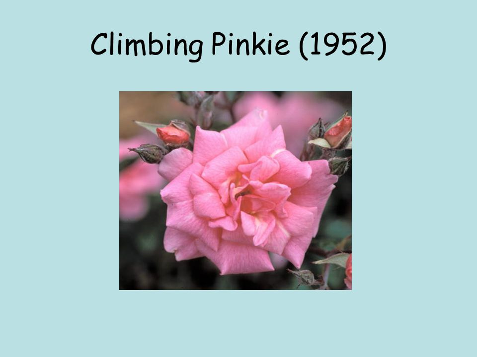 Climbing Pinkie (1952)