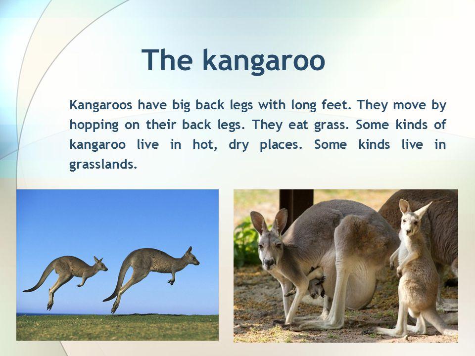 The kangaroo Kangaroos have big back legs with long feet.