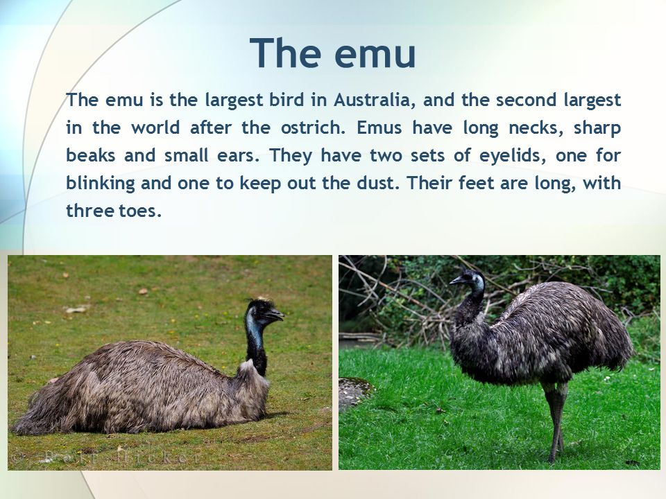 The emu The emu is the largest bird in Australia, and the second largest in the world after the ostrich.