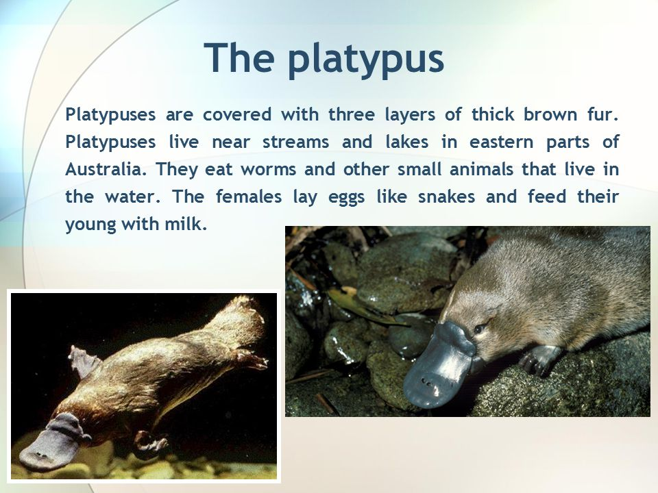 The platypus Platypuses are covered with three layers of thick brown fur.
