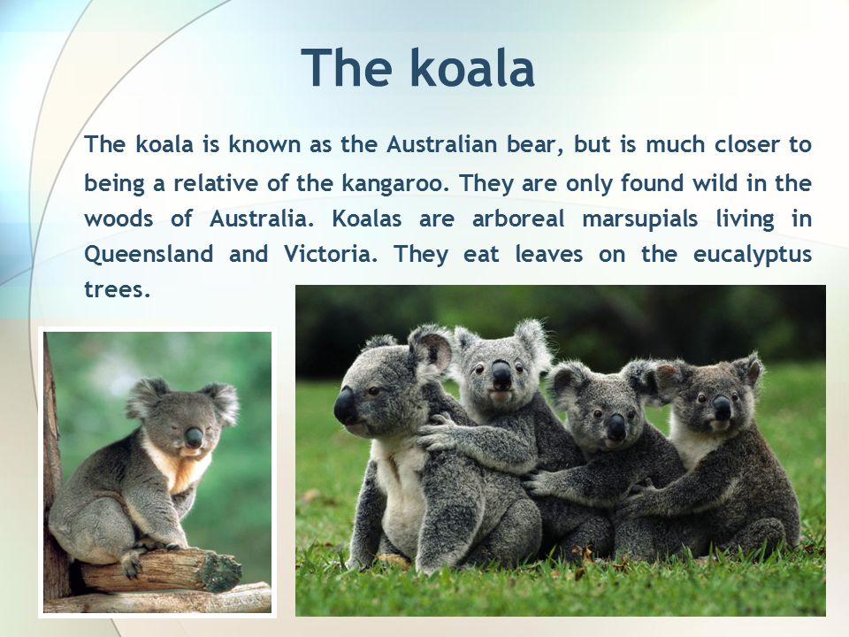 The koala The koala is known as the Australian bear, but is much closer to being a relative of the kangaroo.