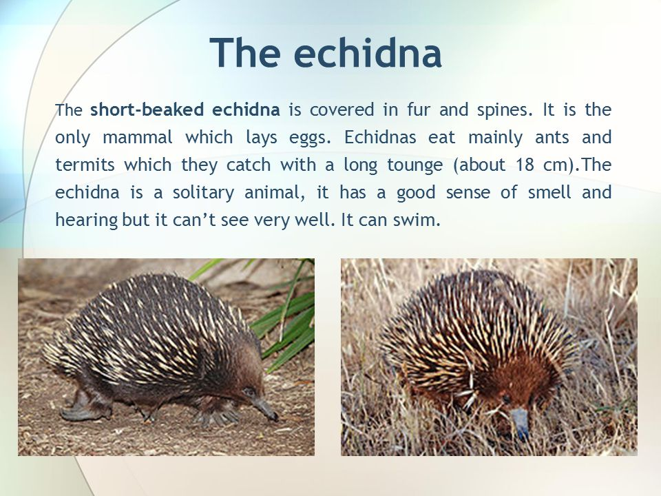 The echidna The short-beaked echidna is covered in fur and spines.
