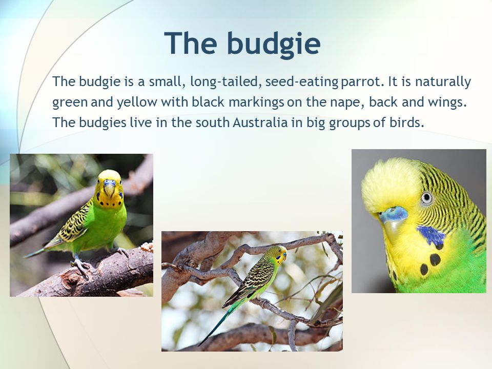 The budgie The budgie is a small, long-tailed, seed-eating parrot.