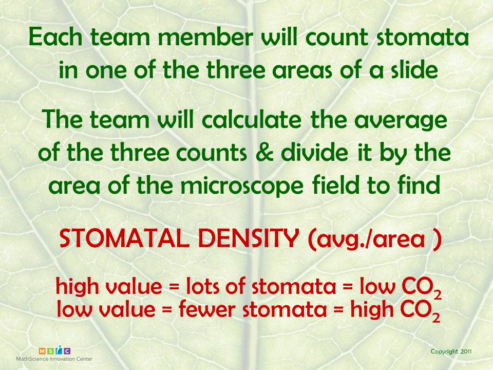 Copyright 2011 Each team member will count stomata in one of the three areas of a slide The team will calculate the average of the three counts & divide the average by 0.05 mm 2 to find STOMATAL DENSITY (avg./0.05 mm 2 ) high value = lots of stomata = low CO 2 low value = fewer stomata = high CO 2