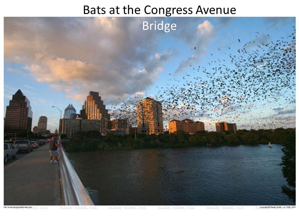 Bats at the Congress Avenue Bridge