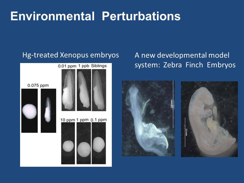 Environmental Perturbations Hg-treated Xenopus embryos A new developmental model system: Zebra Finch Embryos