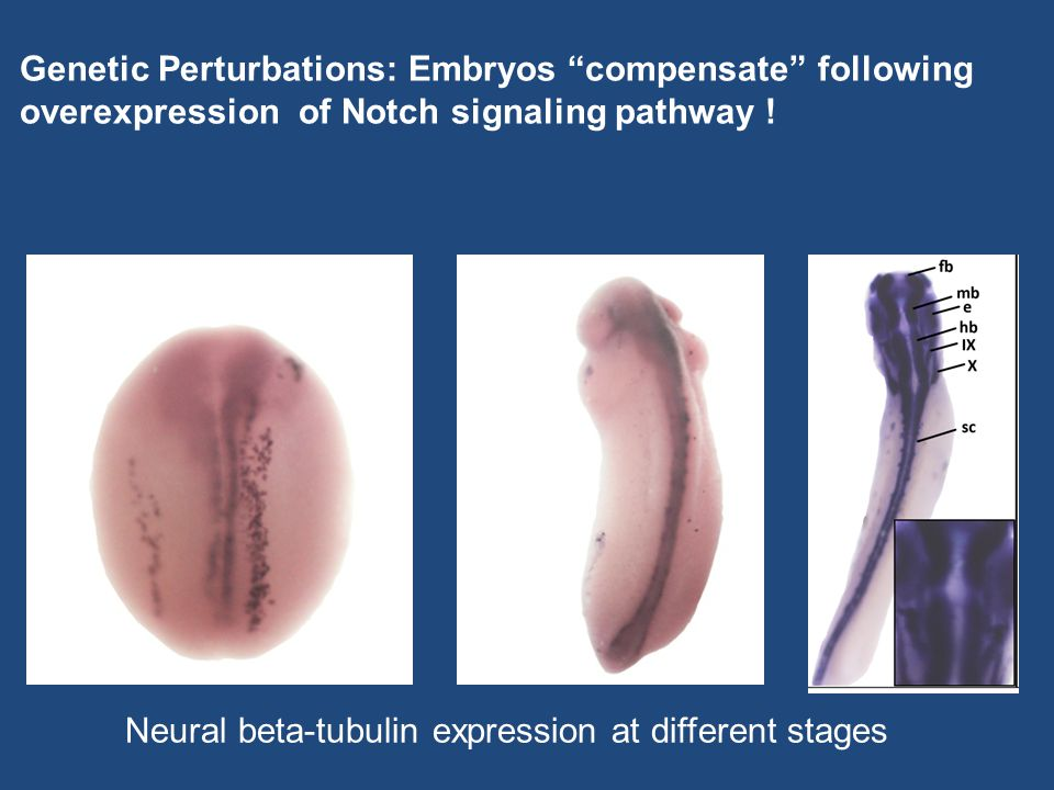 Genetic Perturbations: Embryos compensate following overexpression of Notch signaling pathway .