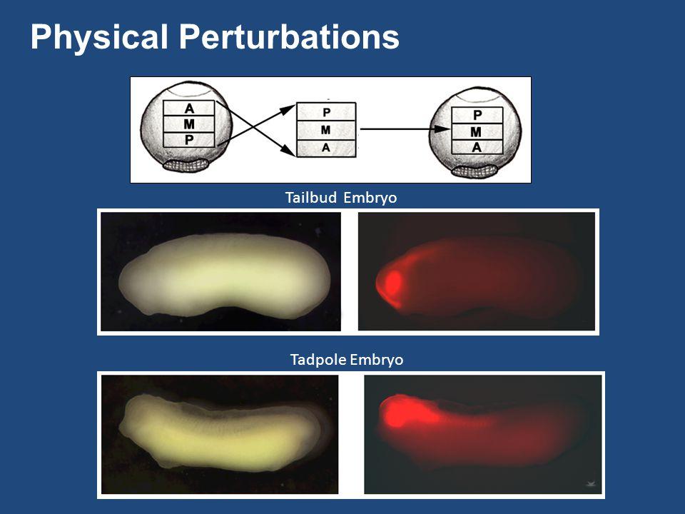 Tailbud Embryo Tadpole Embryo Physical Perturbations