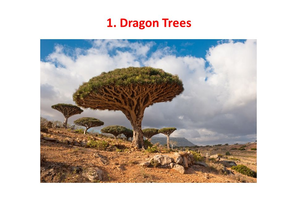 1. Dragon Trees