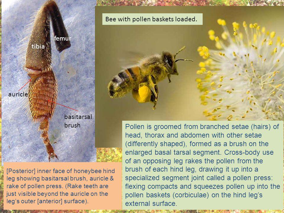 [Posterior] inner face of honeybee hind leg showing basitarsal brush, auricle & rake of pollen press.
