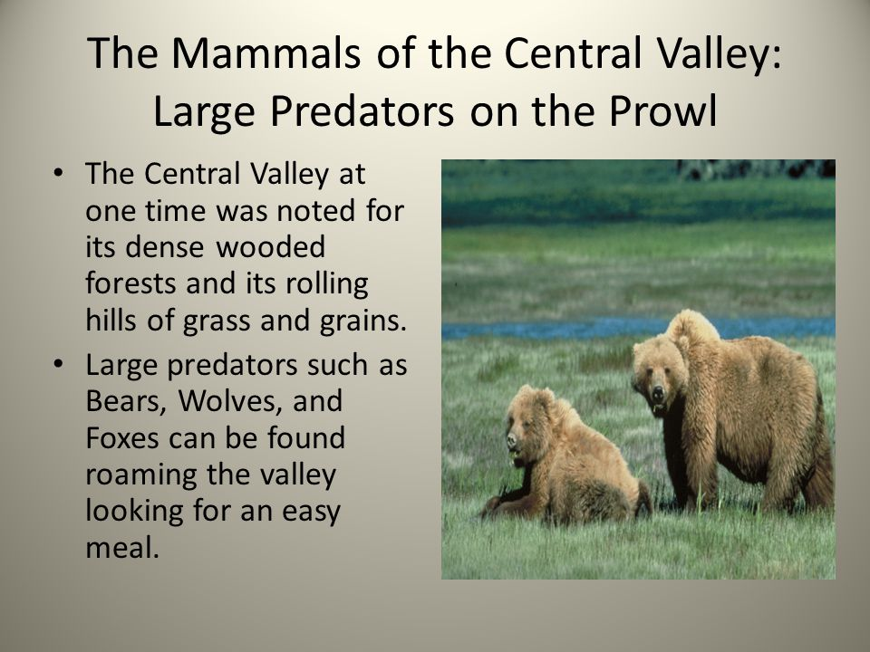 The Mammals of the Central Valley: Large Predators on the Prowl The Central Valley at one time was noted for its dense wooded forests and its rolling hills of grass and grains.