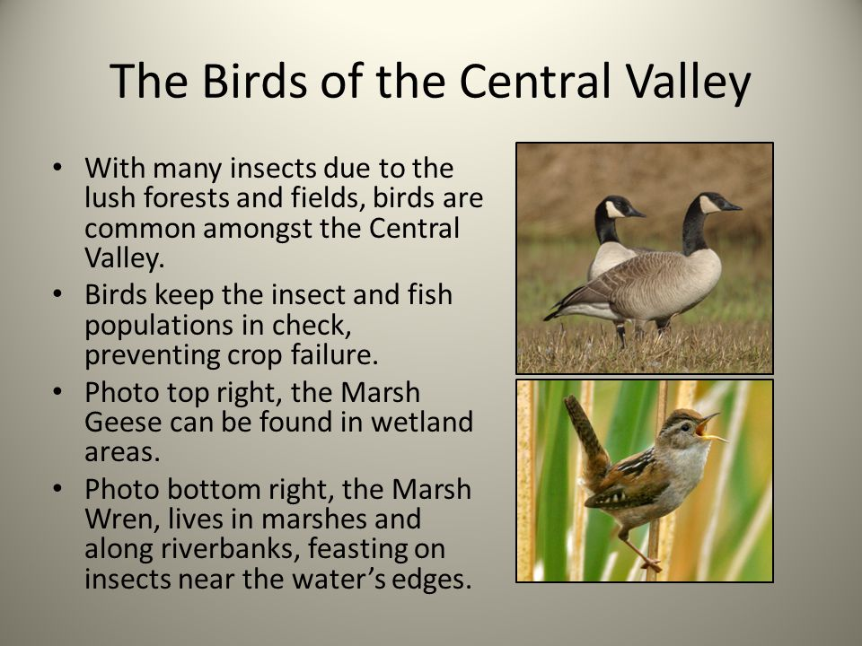 The Birds of the Central Valley With many insects due to the lush forests and fields, birds are common amongst the Central Valley.