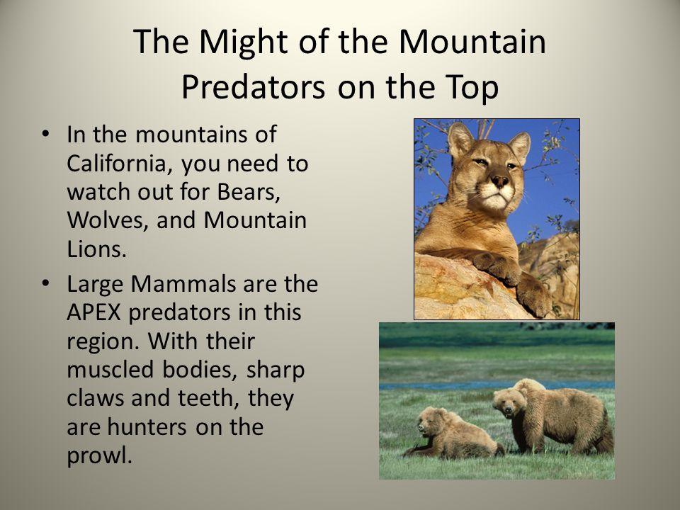 The Might of the Mountain Predators on the Top In the mountains of California, you need to watch out for Bears, Wolves, and Mountain Lions.